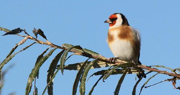 Ловля певчих птиц в Каталонии под запретом