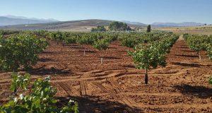 Испанские фермеры делают ставку на выращивание фисташек