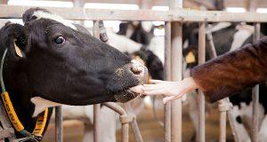 Производством экомолока в Испании занимаются семейные фермы