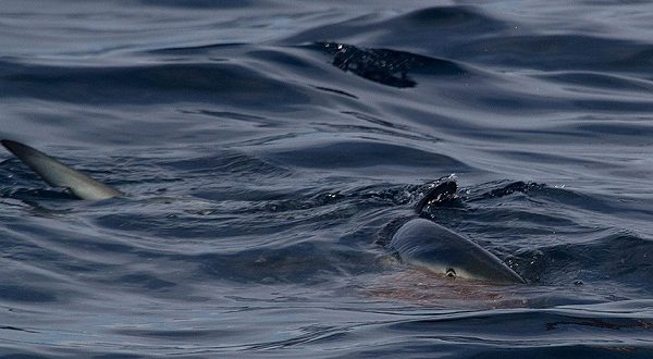 У побережья Коста-Бланки замечена еще одна синяя акула