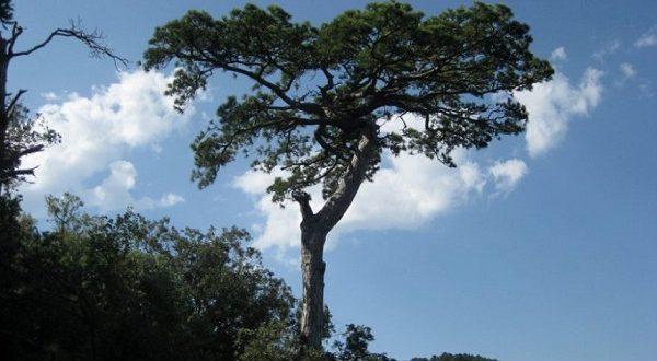 В лесу Поблет растут деревья-долгожители
