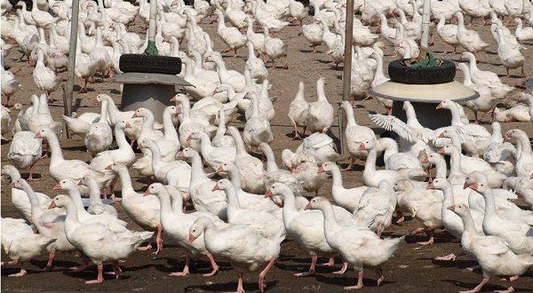 Птичий грипп зафиксирован в Жироне
