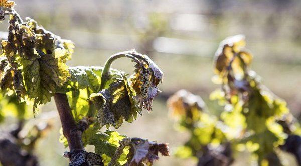 Часть испанских регионов может остаться без урожая винограда