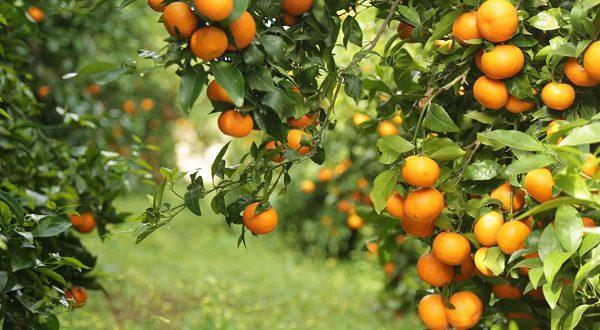 Мандарины сорта «орри» растут только в Испании
