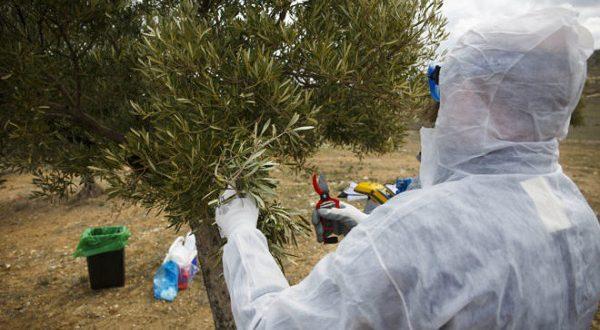 «Оливковую эболу» можно победить!