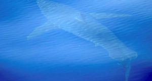 Белая акула обнаружена у берегов Испании